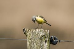 yellow för flavamotacillawagtail songbird arkivbilder