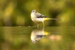 yellow för flavamotacillawagtail songbird arkivfoto
