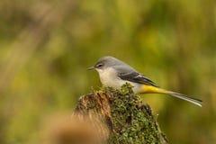 yellow för flavamotacillawagtail songbird arkivbild