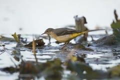 yellow för flavamotacillawagtail songbird royaltyfri bild
