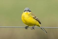 yellow för flavamotacillawagtail songbird royaltyfria bilder
