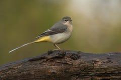 yellow för flavamotacillawagtail songbird fotografering för bildbyråer