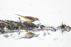 yellow för flavamotacillawagtail songbird royaltyfri foto