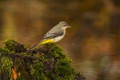 yellow för flavamotacillawagtail songbird royaltyfri fotografi