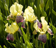 yellow för irises tre Royaltyfri Foto