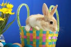 yellow för kanineaster tulpan Arkivfoto