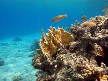 yellow för korallbrandrev Arkivfoto