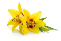 yellow för lilja två Royaltyfria Foton