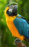 yellow för macaw för araararauna blå Arkivfoton