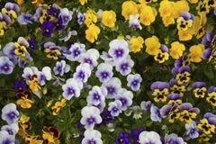 yellow för modell för hjärta för blommor för fjärilsdroppe blom- Royaltyfri Foto