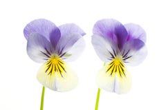 yellow för pansies två för bakgrund blå isolerad vit Arkivfoton