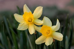 yellow för pingstliljar två royaltyfri bild