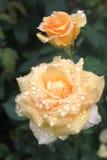 yellow för ro två Arkivbild