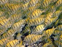 yellow för skola för damselfishmaldives mirihi Royaltyfri Fotografi