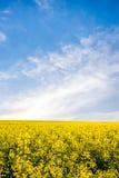 yellow för sommar för rapeseed för fältliggandepanorama Royaltyfria Bilder