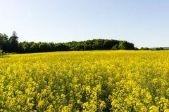 yellow för sommar för rapeseed för fältliggandepanorama Royaltyfri Foto