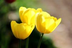 yellow för tre tulpan Royaltyfri Fotografi