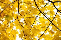 yellow för tree för lönn för höstfalllövverk guld- Arkivbild