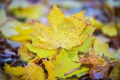 yellow för tree för lönn för höstfalllövverk guld- Royaltyfria Bilder