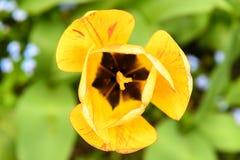 yellow för 01 tulpan Fotografering för Bildbyråer