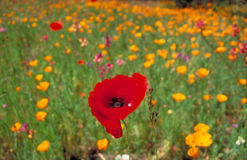 yellow för vallmo för Kalifornien fältvallmor röd Royaltyfri Foto