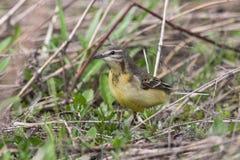yellow för vildmark för wagtail för områdesnaturryss Royaltyfria Foton