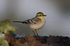 yellow för vildmark för wagtail för områdesnaturryss Royaltyfri Foto