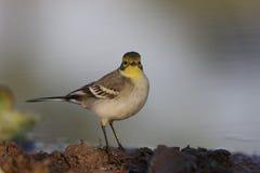 yellow för vildmark för wagtail för områdesnaturryss Arkivfoto