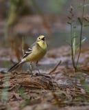 yellow för vildmark för wagtail för områdesnaturryss royaltyfri fotografi