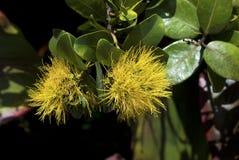 yellow för polymorpha för ohia för lehuamamometrosideros Fotografering för Bildbyråer