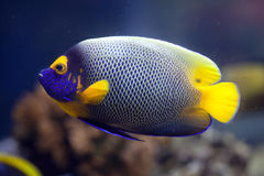 Yellow-faced angelfish (Pomacanthus xanthometopon). Also known as the blue-faced angelfish royalty free stock image