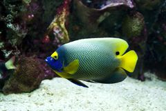 Yellow faced angelfish swimming. Side view of yellow faced angelfish swimming Stock Photo
