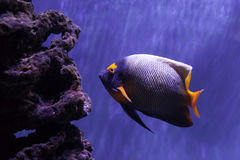 Yellow-faced angelfish swimming Stock Images