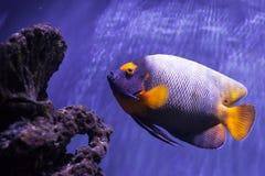 Yellow-faced angelfish swimming Royalty Free Stock Image