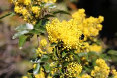 Yellow Faced Bumble Bee and American Honey Bee on Oregon Grape. Yellow Faced Bumble and American Honey bees descend on an Oregon Grape plant during spring stock image