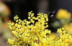 Yellow Faced Bumble Bee. A Yellow Faced Bumble Bee descends on an Oregon Grape plant during spring flowering. Flowers. Field royalty free stock photography
