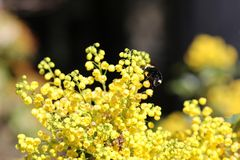 Yellow Faced Bumble Bee. A Yellow Faced Bumble Bee descends on an Oregon Grape plant during spring flowering. Flowers. Field Stock Image