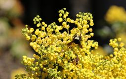 Yellow Faced Bumble Bee on Oregon Grape. Yellow Faced Bumble Bee descends on an Oregon Grape plant during spring flowering. Flowers. Field stock images