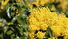 Yellow Faced Bumble Bee on Oregon Grape. Yellow Faced Bumble Bee descends on an Oregon Grape plant during spring flowering. Flowers. Field stock photography
