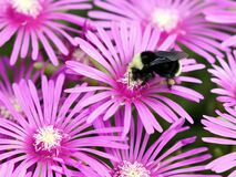 Free Yellow-faced Bumblebee On Ice Plant Flowers Stock Images - 207756704