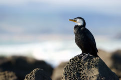 Yellow-faced cormorant. A yellow faced cormorant on rock in New Zealand royalty free stock image