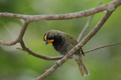 Yellow-faced Grassquit Royalty Free Stock Images