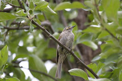 Yellow-Faced Honeyeater (Lichenostomus Chrysops) Royalty Free Stock Images