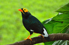 Yellow-faced myna Royalty Free Stock Photography