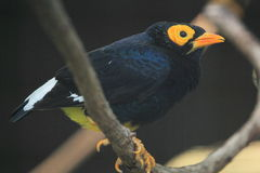 Yellow faced myna Stock Photos