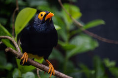 Yellow-faced myna Royalty Free Stock Image
