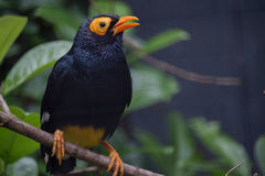 Yellow-faced myna Stock Photography
