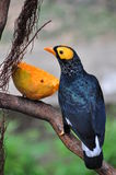 Yellow-faced Mynah stock images