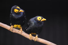 Yellow-faced mynas Stock Photos