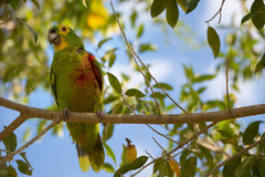 Yellow-faced Parrot sitting on branch Royalty Free Stock Photos